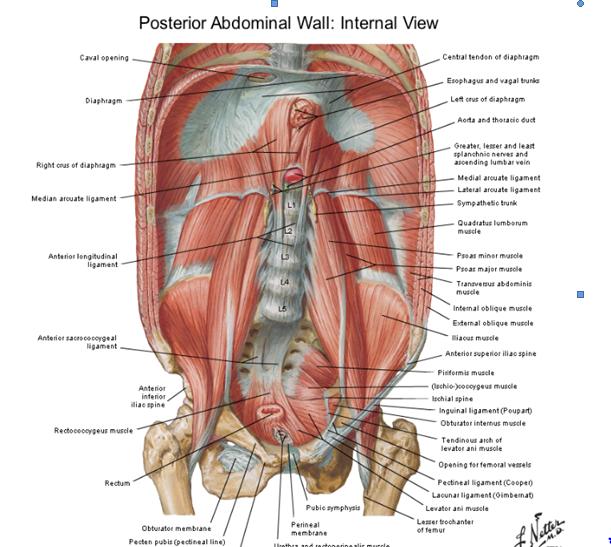 Perfecto Anatomía De Los Músculos Del Estómago Ideas - Anatomía de ...
