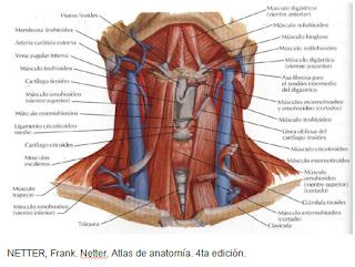 Cardiorespiratoriouq gl ndula tiroides y paratiroides por for Esternohioideo y esternotiroideo