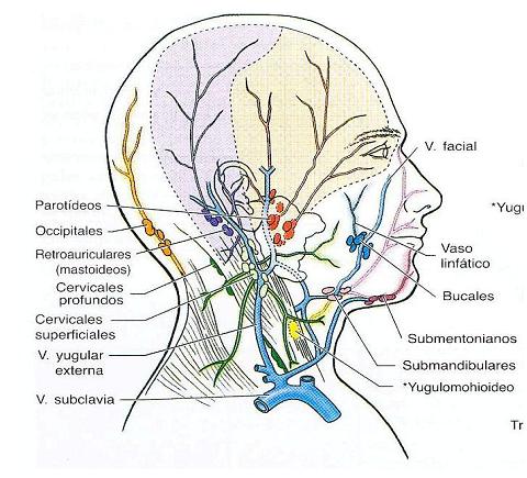 digestivouq: Venas y linfáticos de la cara por María F. Arenas A.