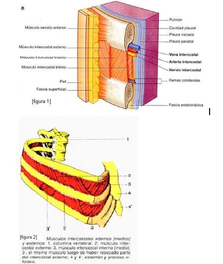 cardiorespiratoriouq: Músculos del tórax por Erika Hoyos