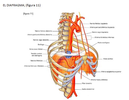 La mente de un Medicoblasto: Anatomía del Diafragma