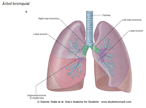 Thorax 5 additionally 9199249 moreover 13016797 as well Physiological Anatomy Of Respiratory System as well Dl141 Chapt01 Lecture. on pleura of thoracic cavity