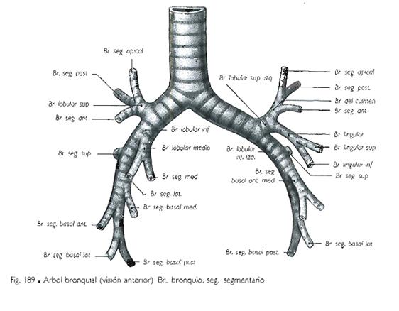 El blog neuroanatomico del Dr. Mime: TORAX: TRAQUEA, BRONQUIOS ...