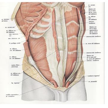 digestivouq: Pared anterolateral del abdomen por CRISTIAN DAVID ...