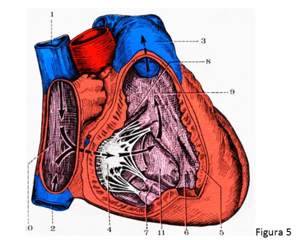 cardiorespiratoriouq