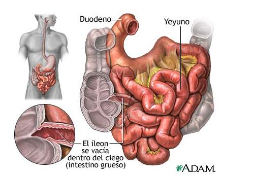 digestivouq: YEYUNO E ÍLEON por DIEGO ALEJANDRO MORALES RÍOS