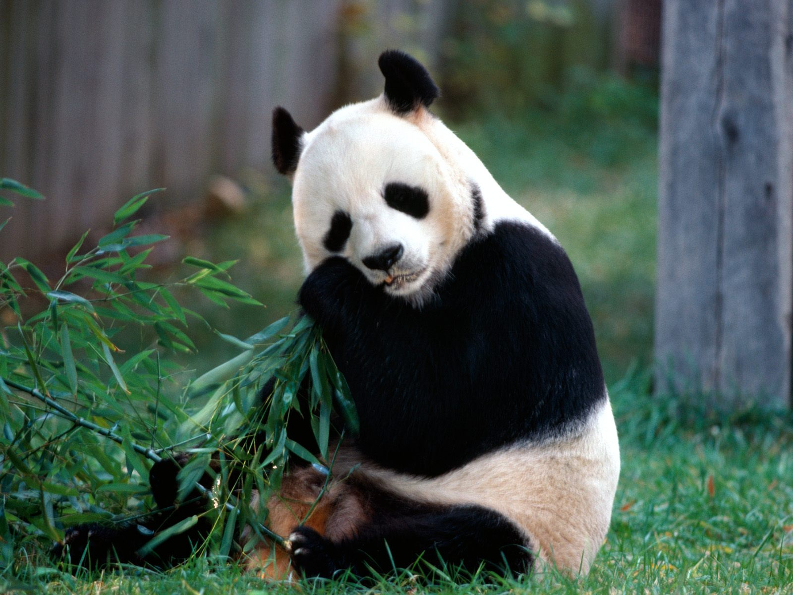snack time panda bear pictures