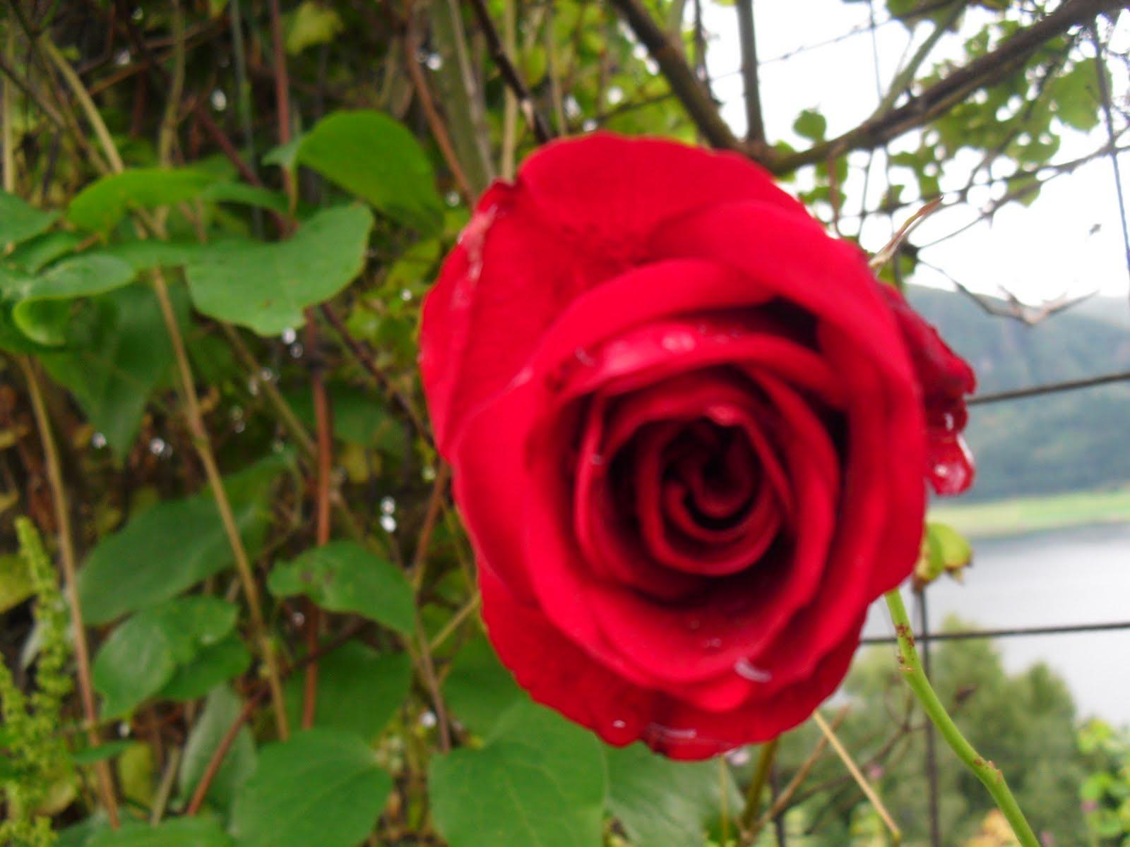 http://2.bp.blogspot.com/_ZGAH9dSpC5M/TFqOZvCTJRI/AAAAAAAABsA/z5u0qjo3RiQ/s1600/Blomstring+31.+Juli+2010+071.JPG