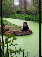 Lion-tailed macaque sitting near a river at Zoo de Doué (Zoo of Doué)