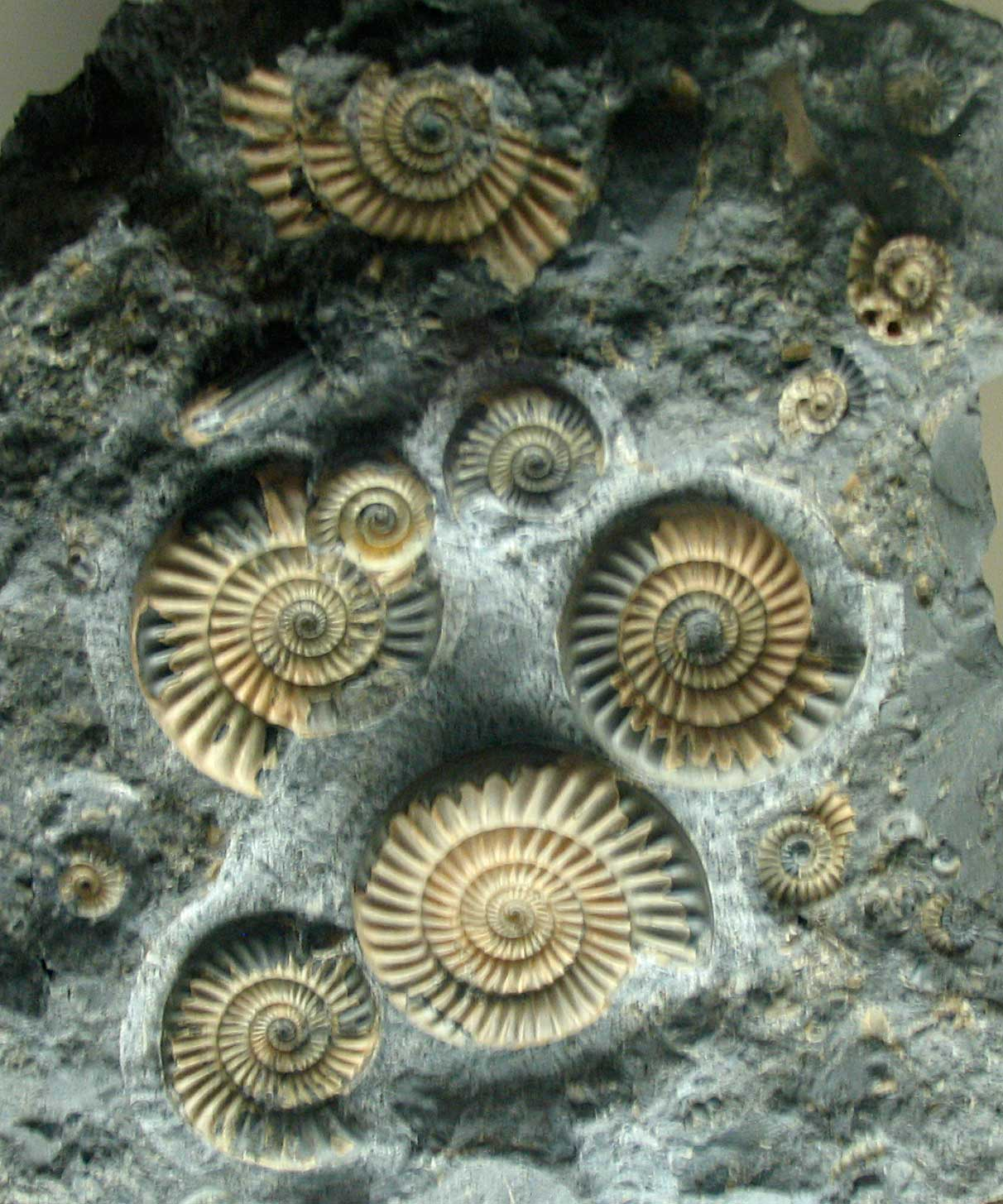 ammonite fossils favorite fossil natural history art