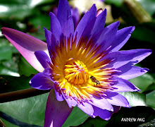 WATER LILY & A BEE