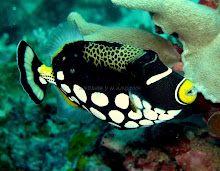 CLOWN TRIGGERFISH - MY FAVORITE TRIGGERFISH