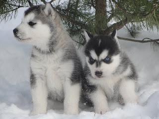 канадские лайки щенки фото