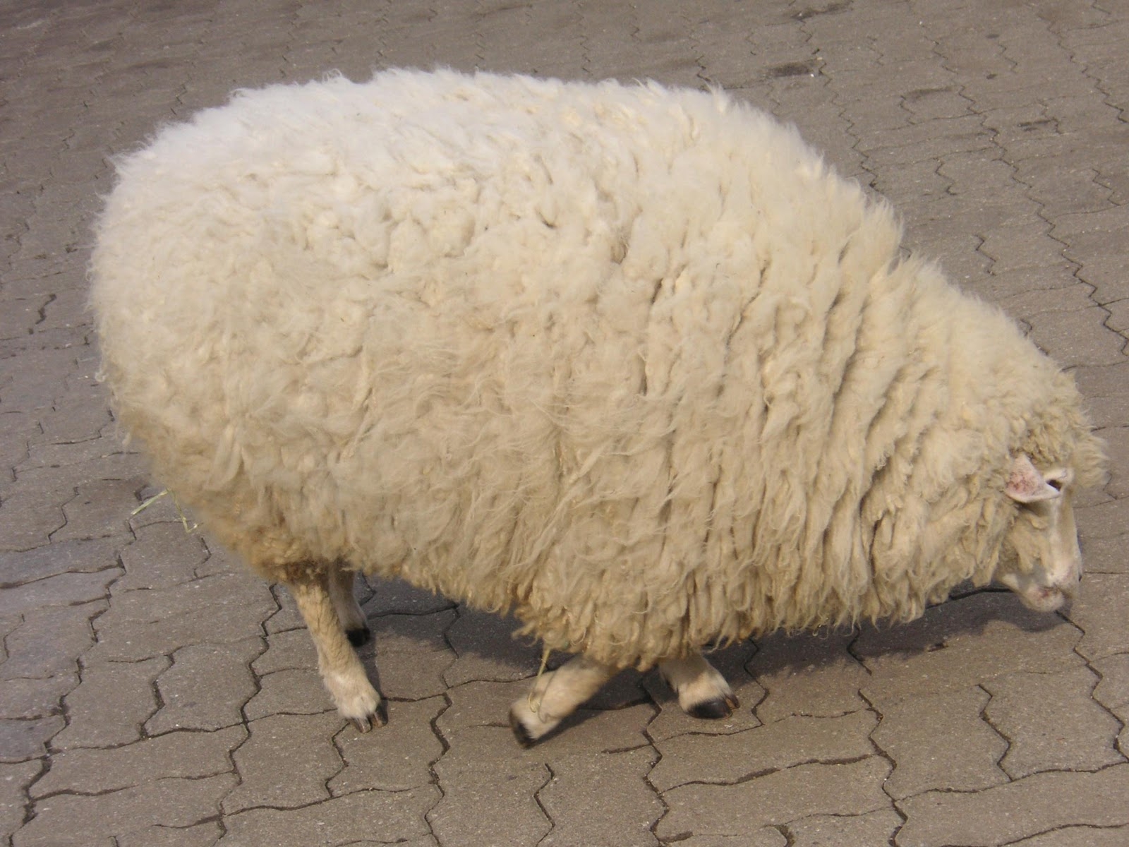 one day i will have a sheep