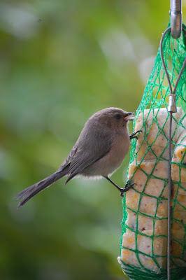 Bush tit at the suet feeder