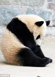 Panda Mengantuk [ 8 Gambo ]