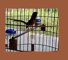 Muray Batu Bird