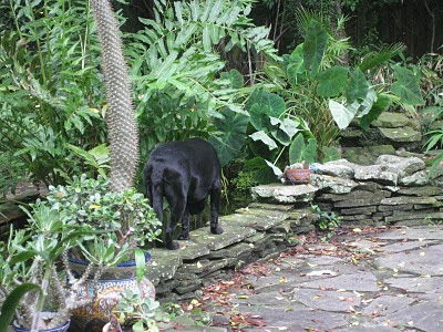A picture of Bingo walking on the edge of our fish pond