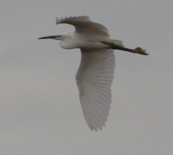 [little+egret+large.jpg]