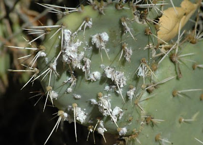 Cochineal is a scale insect