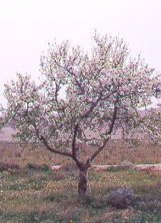 Un almendro (Prunus dulcis)