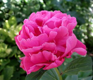 Una rosa de Alejandría, también conocida como peonía (Paeonia albiflora)
