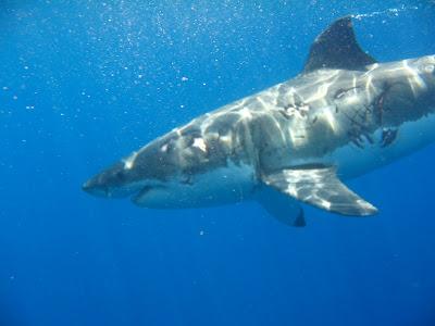 guadalupe island shark diving. Guadalupe Island - Mau takes