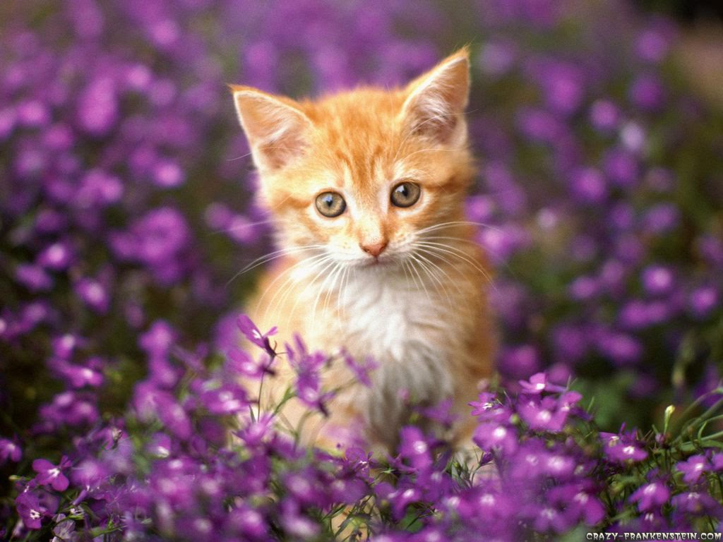 orange tabby cat wallpaper Orange Tabby Kittens