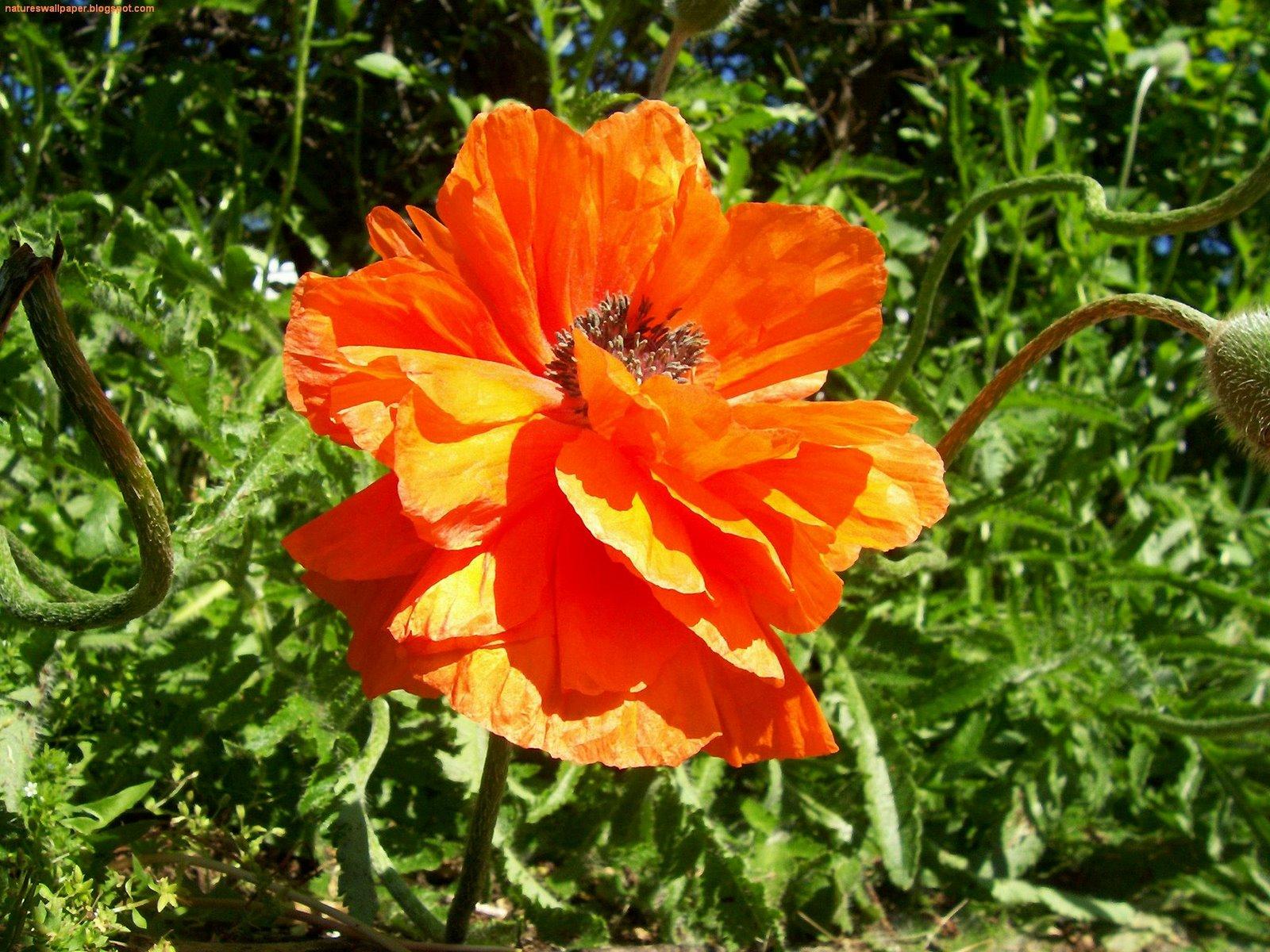 http://2.bp.blogspot.com/_ZWw3x1gj3hQ/TM6WX6CW81I/AAAAAAAAJ5s/_AfL0kuCpAM/s1600/Close-Up,+Flowers,+Nature,+Orange,+Photography,+wallpaper.jpg