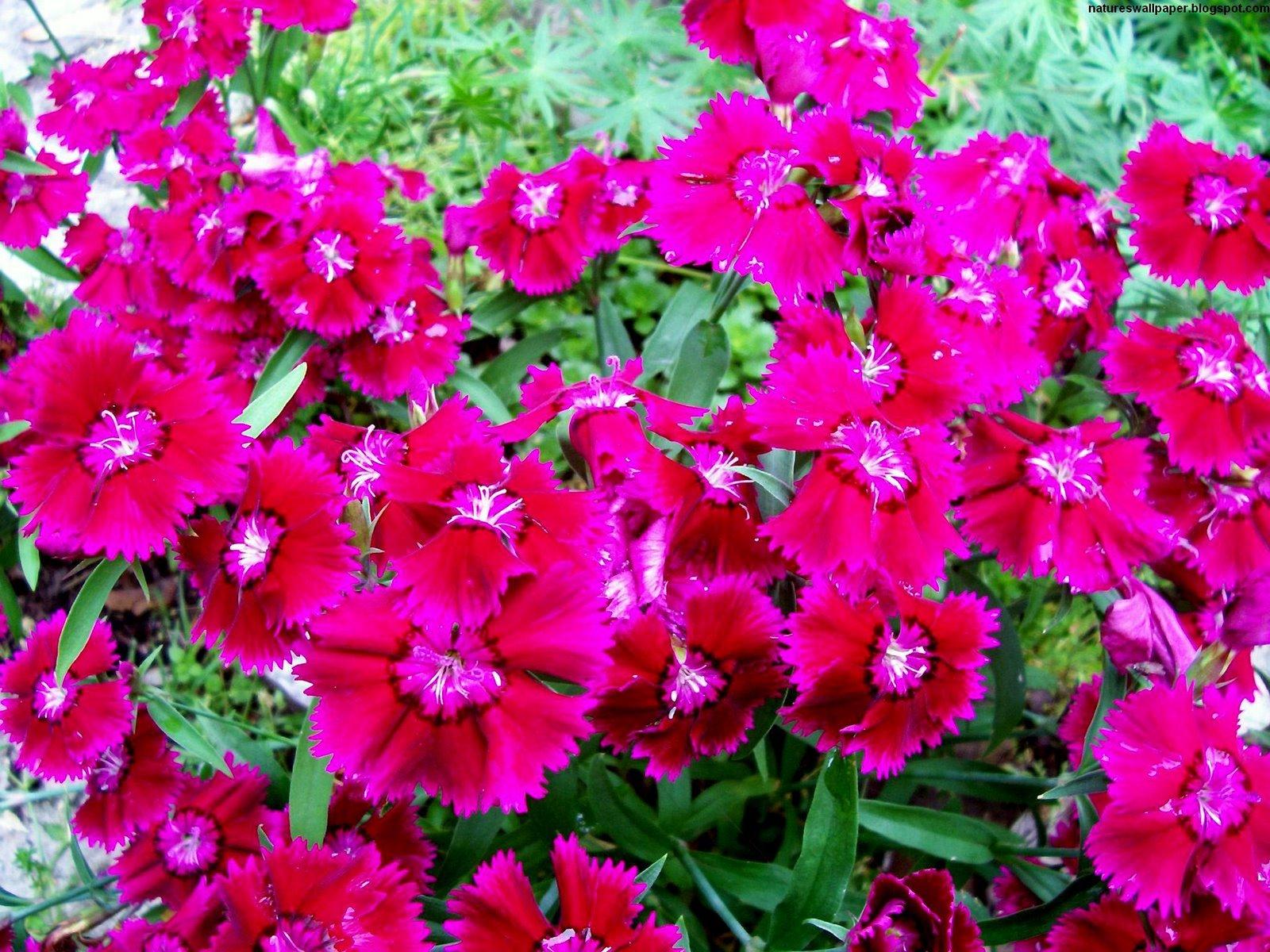 http://2.bp.blogspot.com/_ZWw3x1gj3hQ/TM7t0zUKEyI/AAAAAAAAJ-M/AVBogzhHyIo/s1600/Flowers,+plants,+Red,+wallpaper.jpg