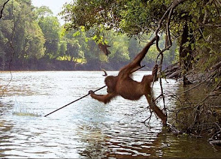 Orangután pescando. Propiedad de Thinkers of the Jungle