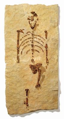 Restos fósiles de Lucy, un Australopithecus afarensis