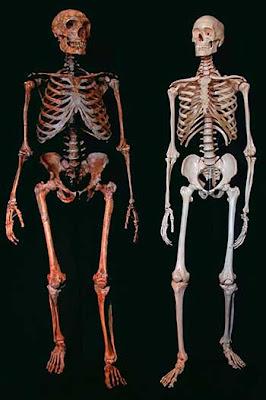Restos fósiles de un Neandertal a la izquierda comparados con el de un ser humano a la derecha.