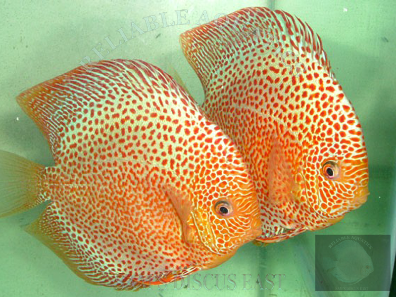 breeding pairs our discus breeding pairs