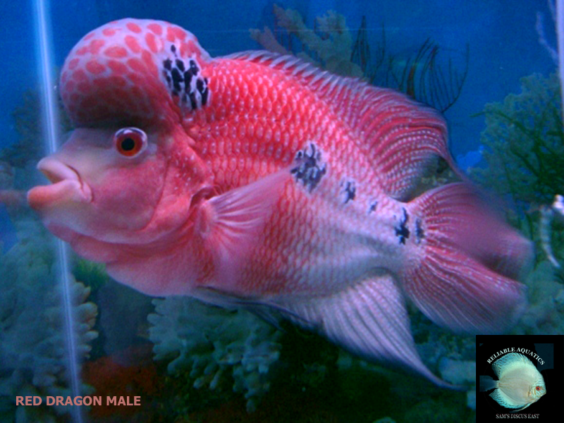 Flowerhorn our male flowers for Red parrot fish
