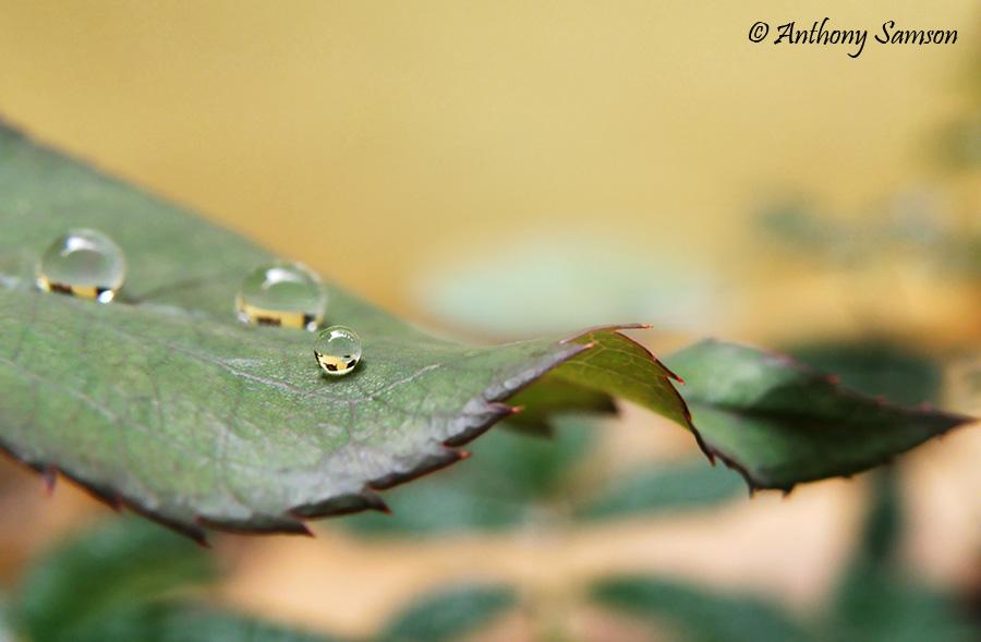 glittering rain droplet on rose leaf