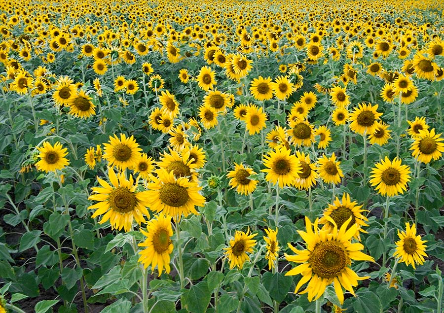 Field full of sunflowers