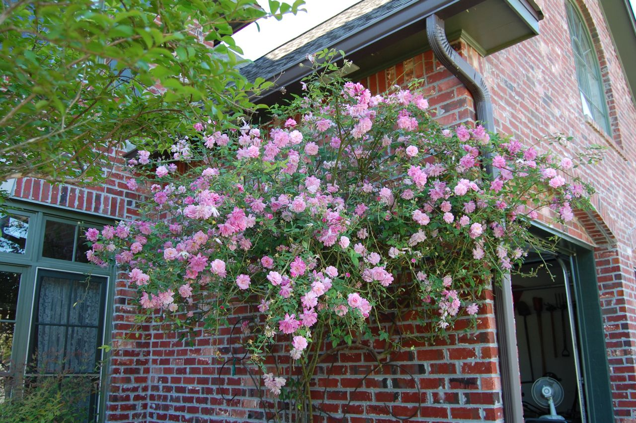 Jeannie's Fairy Rose Louisiana Garden: The Best of Old Blush