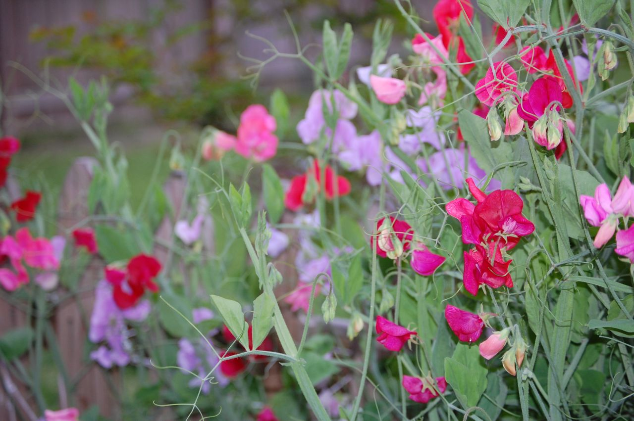 how to grow garden sweet peas