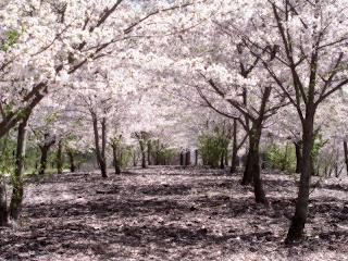 [800px-SakuraHealed.png]