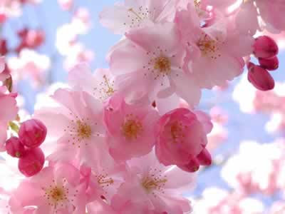 La belleza de los cerezos en flor