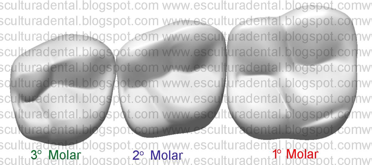 Fantástico Anatomía De Un Molar Cresta - Anatomía de Las Imágenesdel ...