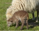 Fawn Ouessant Lamb