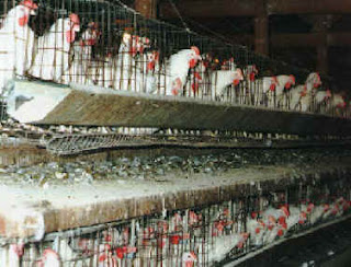 Hens kept in battery cages