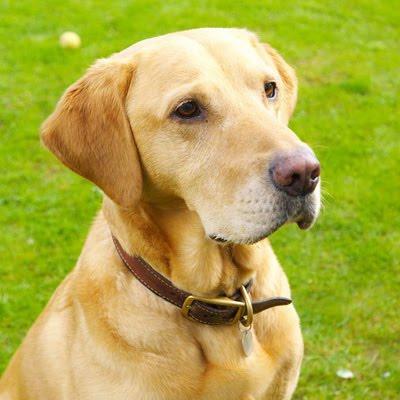 top dog breeds labrador retriever