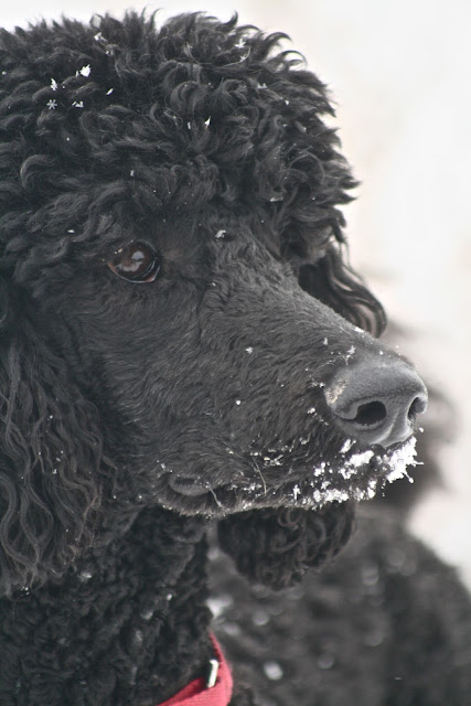 IMG 3382 Snow on a Black Dog