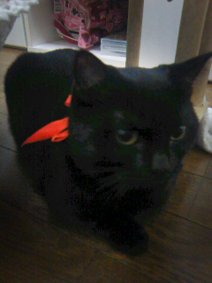 Yuuki Aoi's cat Eimi, wearing a ribbon Ao-chan got from a fan at the Sunday event