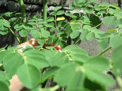 the potential of malunggay moringa oleifera Abstract background: there is an increasing awareness on the potential of  moringa oleifera (malunggay) as a high-value agricultural crop.
