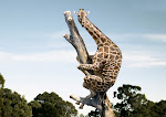 Giraffe Evolution?