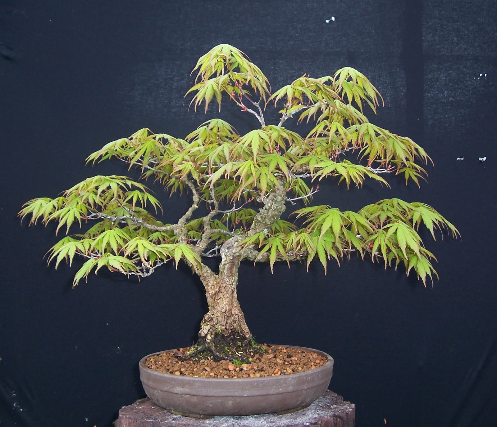 Bonsai Progression: Arakawa Maple